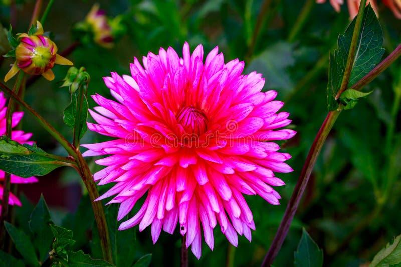 Dalia hermosa en el jardín fotos de archivo libres de regalías
