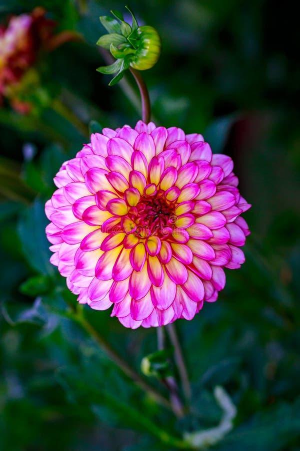 Dalia hermosa en el jardín fotografía de archivo