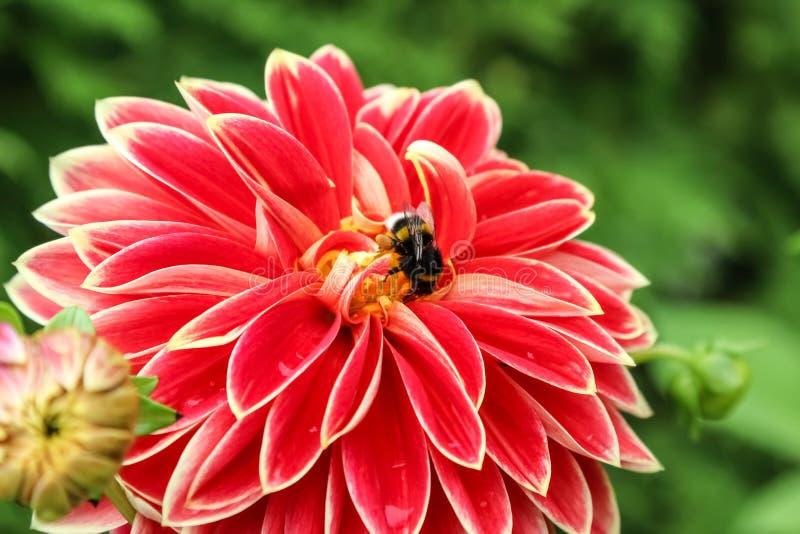 Dalia kwiat Georgina z pszczołą, widok strona zdjęcia royalty free