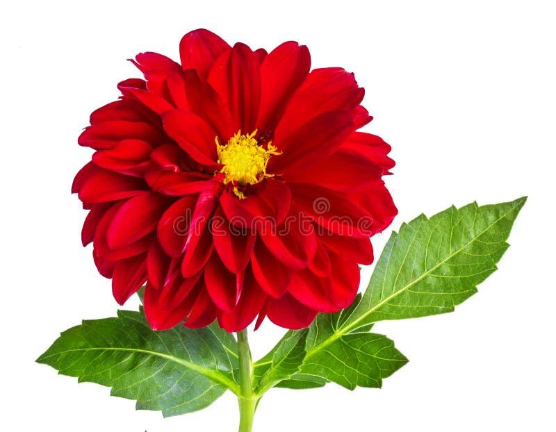 Dalia kwiat odizolowywający na bielu obraz stock