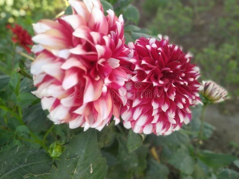 Dalia kwiat w parku patrzeje w ten sposób pięknym w słońca świetle zdjęcie royalty free