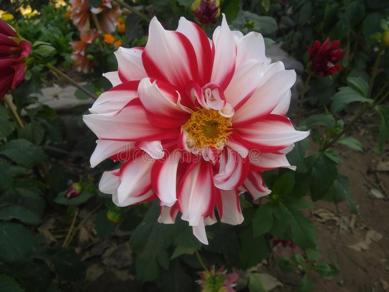 Dalia kwiat w parku patrzeje w ten sposób pięknym w słońca świetle zdjęcie stock