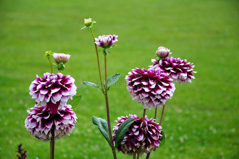 Dalia kwitnie z bicolored promieni florets zdjęcie stock