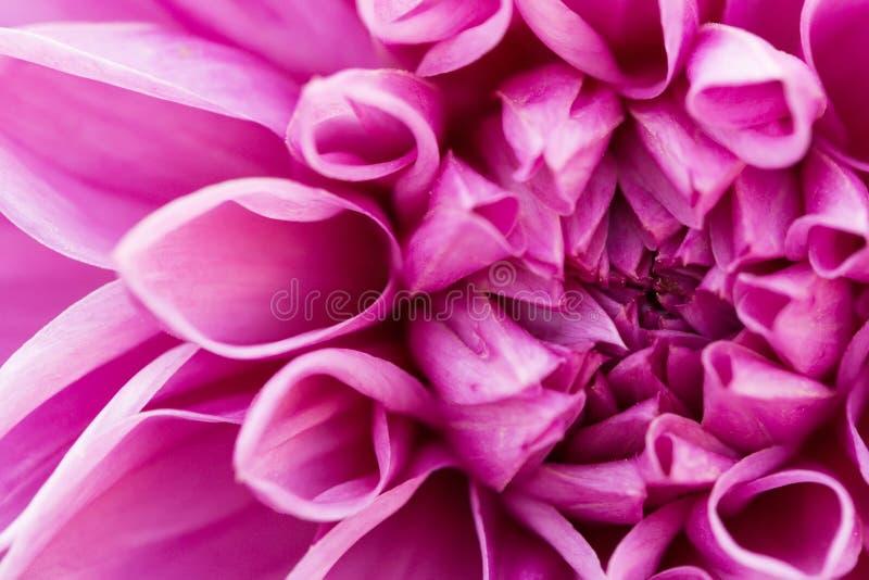 Dalia macra rosada fotos de archivo