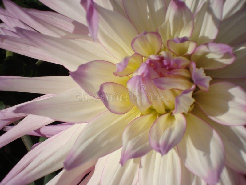Dalia magnifica vibrante del bianco-lillà Primo piano fotografie stock libere da diritti