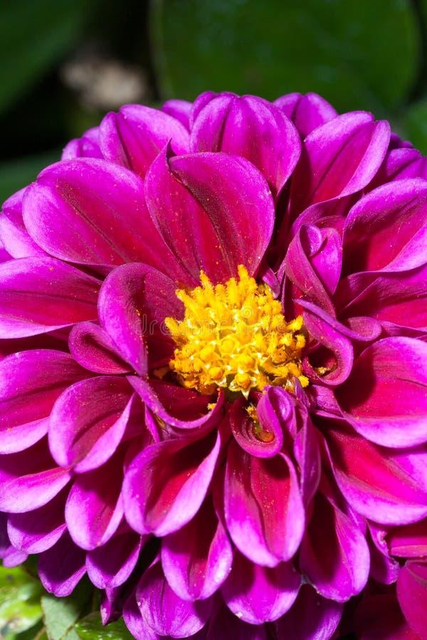 Download Dalia púrpura imagen de archivo. Imagen de dahlias, violeta - 64211457