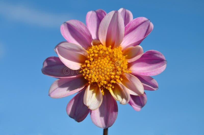 Download Dalia Púrpura, Primer Hermoso De La Flor Foto de archivo - Imagen de brillante, regalo: 64213320