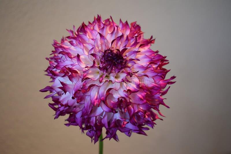 Dalia púrpura y blanca imágenes de archivo libres de regalías