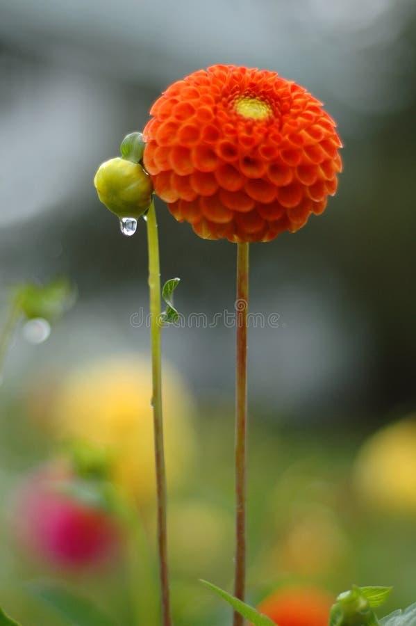 Download Dalia in pioggia immagine stock. Immagine di autunno, pioggia - 210725