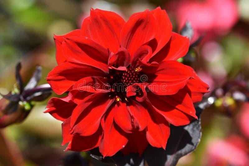 Dalia roja de la flor del jardín foto de archivo
