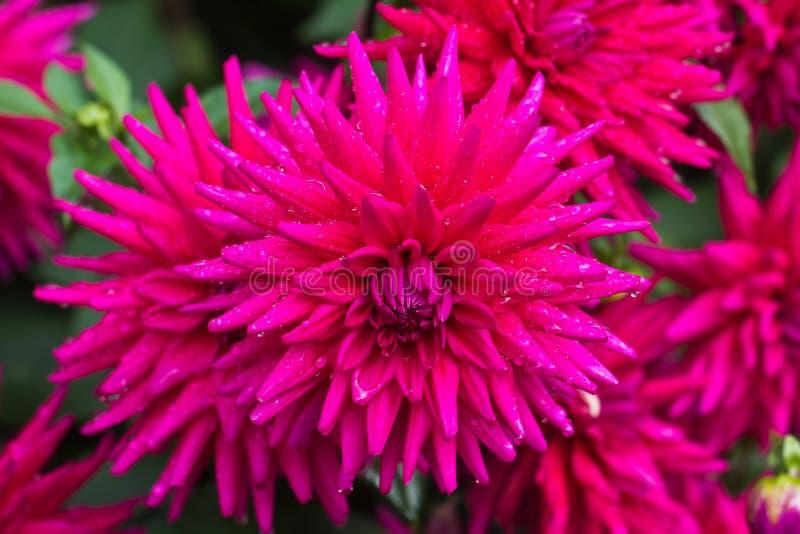 Dalia roja en la floración en un jardín fotografía de archivo