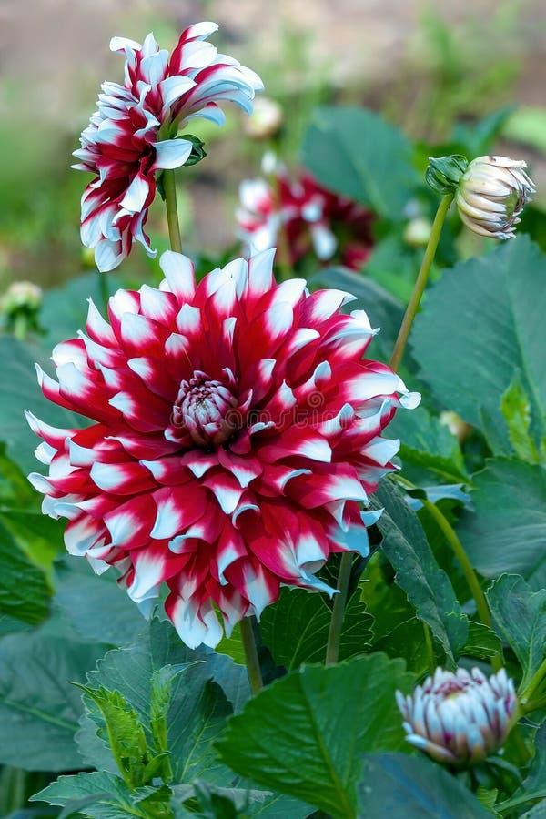Dalia roja y blanca en la floración en jardín fotos de archivo