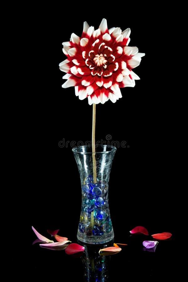 dalia Rojo-blanca con el florero en negro. fotografía de archivo