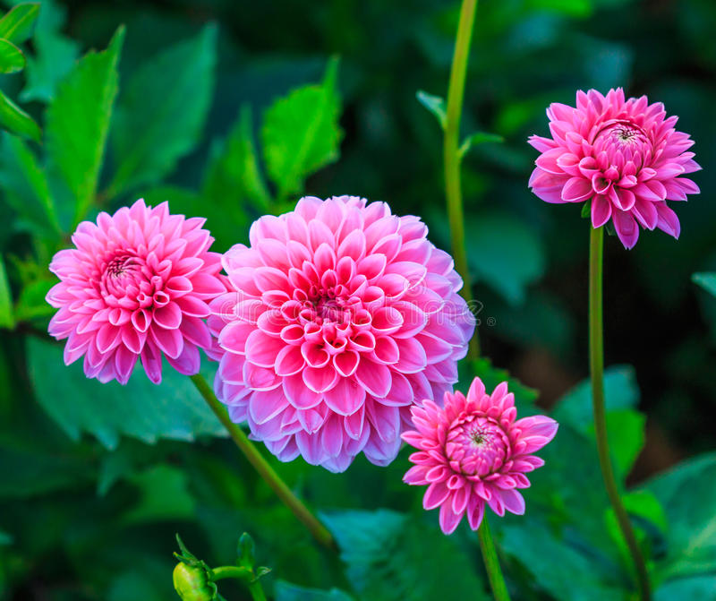 Dalia rosa fotografia stock
