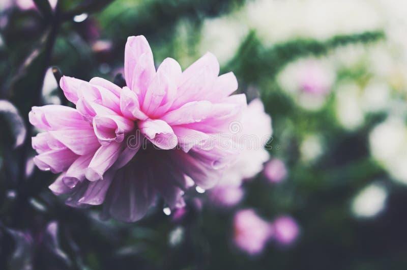 Dalia rosa tenera su fondo verde dopo la pioggia immagine stock