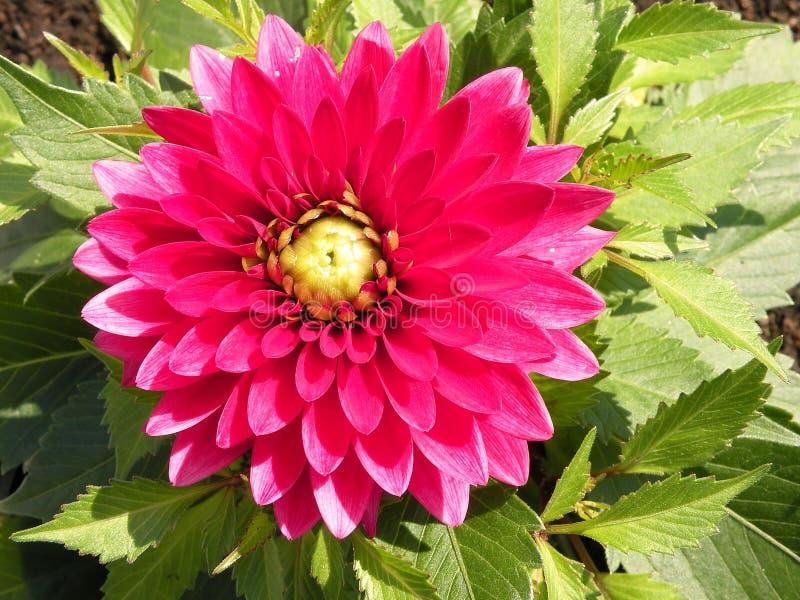Dalia rosada foto de archivo