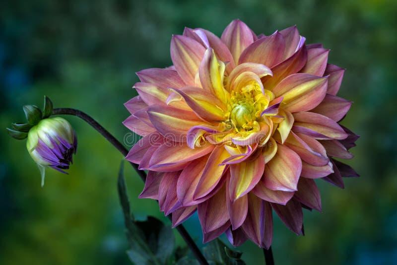 Dalia rosada, roja y amarilla hermosa imagen de archivo