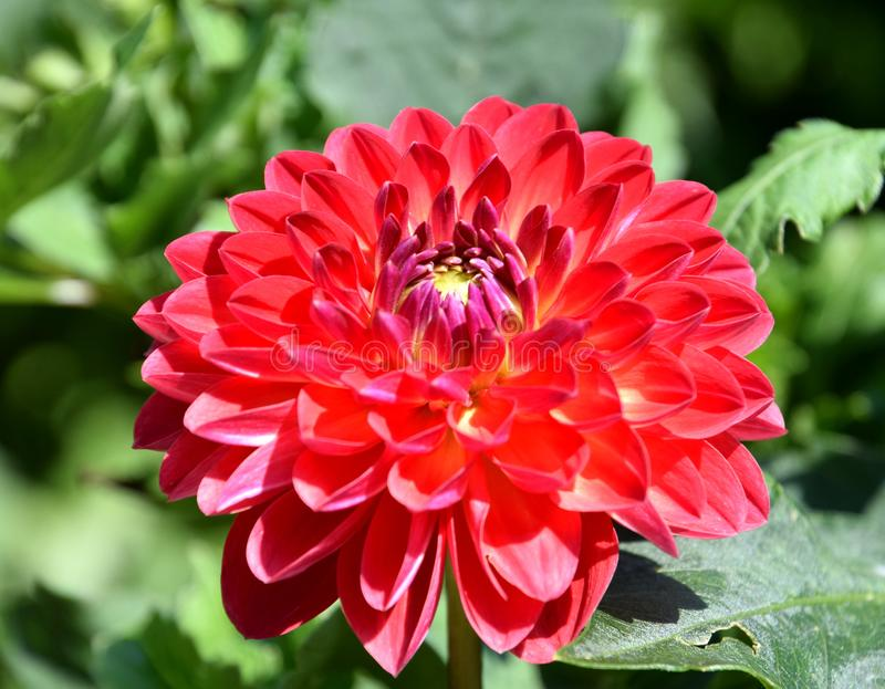 Dalia rossa che fiorisce nel giardino soleggiato immagini stock libere da diritti