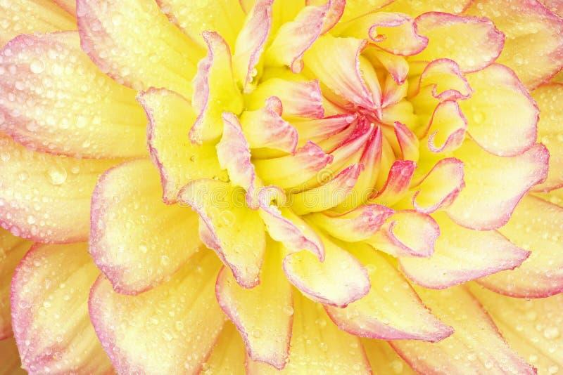 Dalia rossa e gialla con le gocce di pioggia fotografie stock