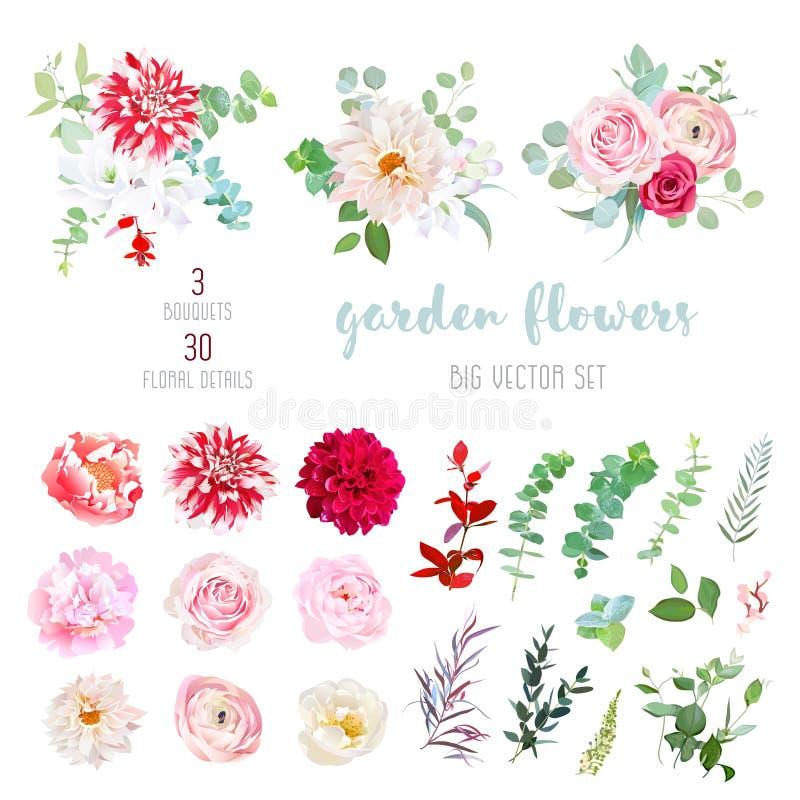 Dalia rossa a strisce, cremosa e di Borgogna, ranunculus rosa, rosa, illustrazione vettoriale