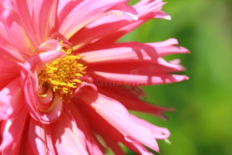 Daliah cor-de-rosa fotografia de stock royalty free