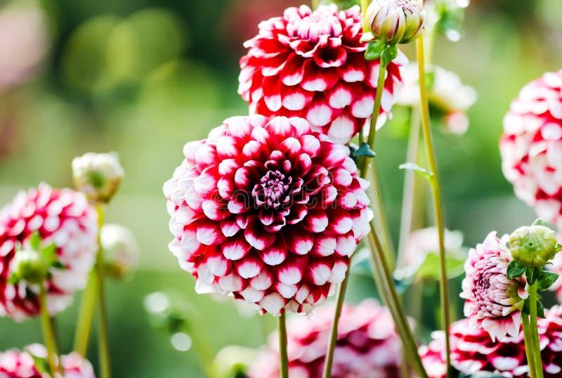 Dalias blancas rojas hermosas en un prado verde con el fondo borroso foto de archivo