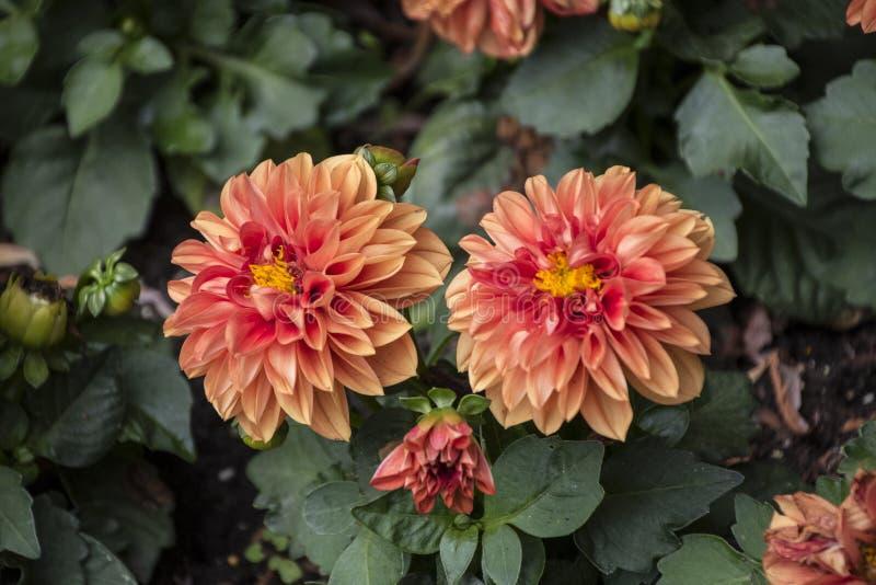 Dalias florecientes anaranjadas hermosas, fondo natural verde fotografía de archivo