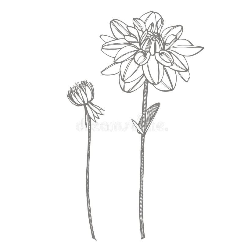 Dalias a mano de la tinta Elementos florales Ejemplos gráficos de las flores Ejemplo bot?nico de la planta Vintage medicinal ilustración del vector