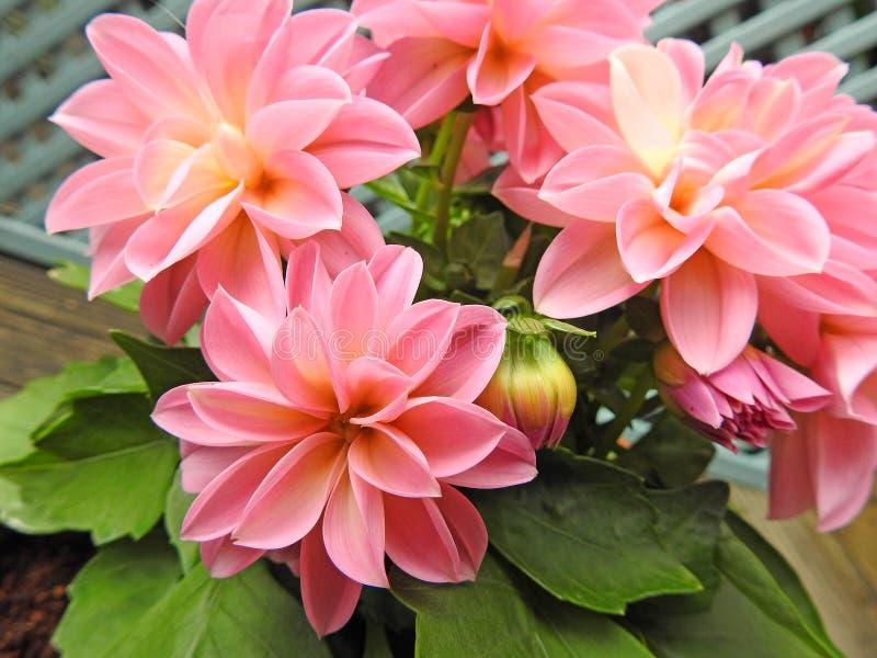 Dalias rosadas en conserva de la primavera en la floración imagen de archivo