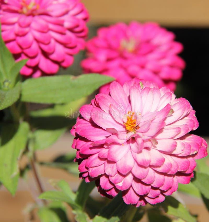 Dalias Rosadas En El Jardín De La Paz En El Centro De Recuperación ...