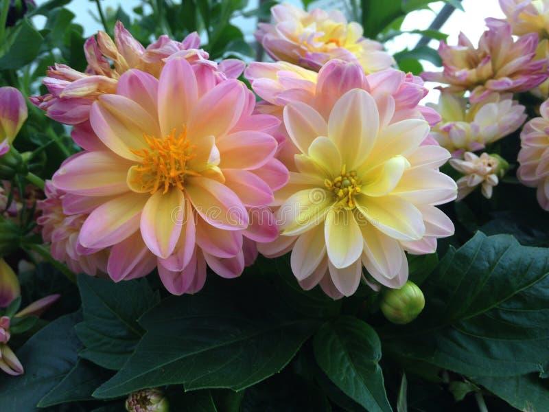 Dalias rosadas y amarillas fotografía de archivo libre de regalías