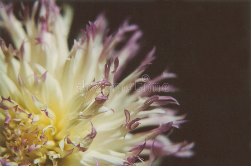 Download Dalie fotografia stock. Immagine di fresco, botanica, giardino - 125242