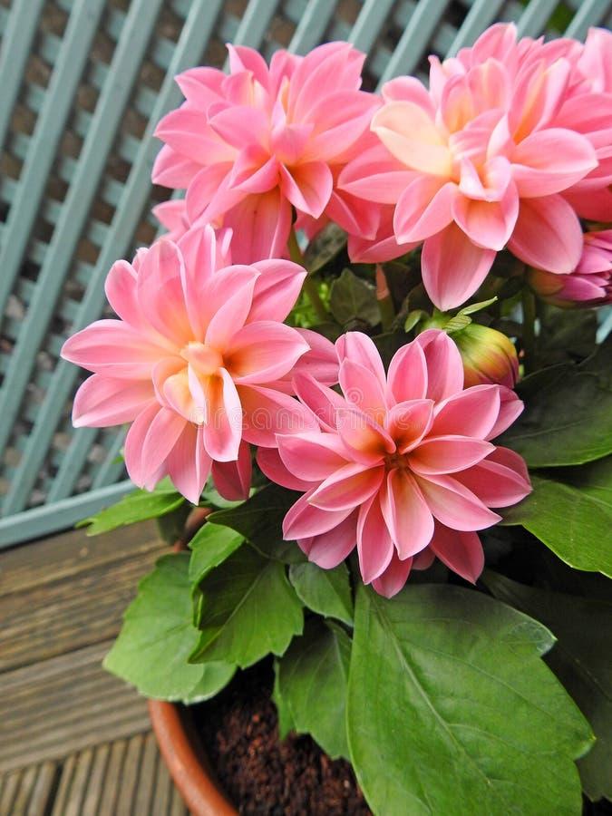 Dalie rosa conservate in vaso di primavera in fioritura fotografia stock libera da diritti