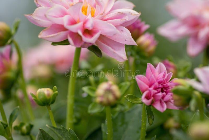 Dalie rosa in giardino - fuoco molle per uso come fondo fotografie stock