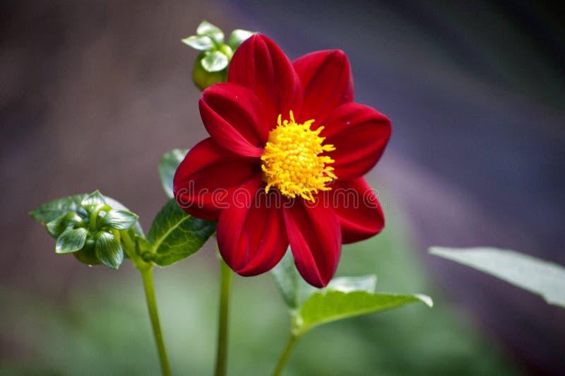 dalii kwiatu czerwień obraz stock