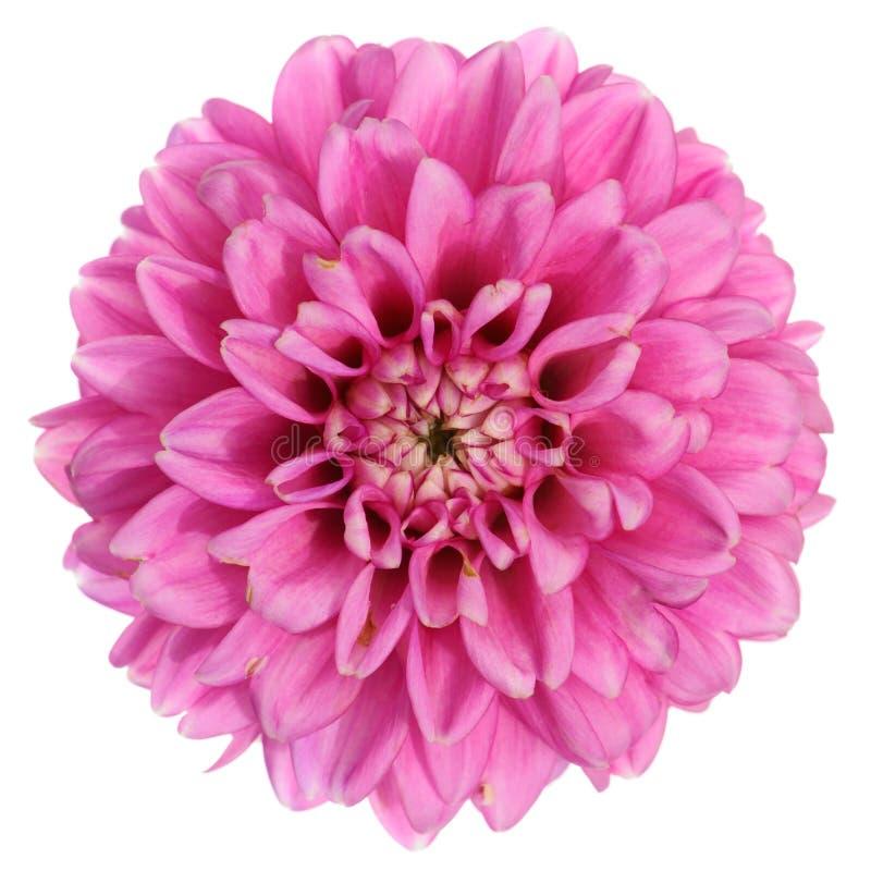 dalii kwiatu purpury obrazy royalty free