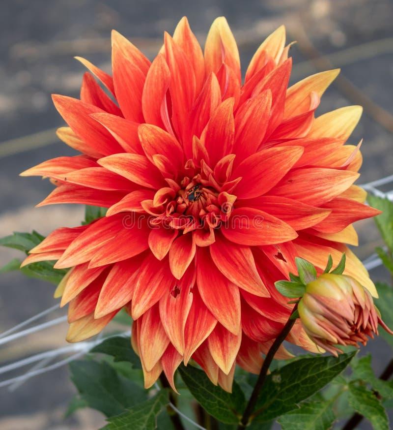 Dalii ` Tamale Gorący ` w kwiacie zdjęcie stock