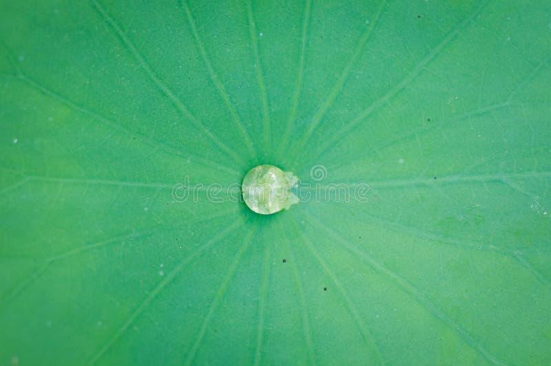 Daling van water op centrum van lotusbloemblad stock afbeelding