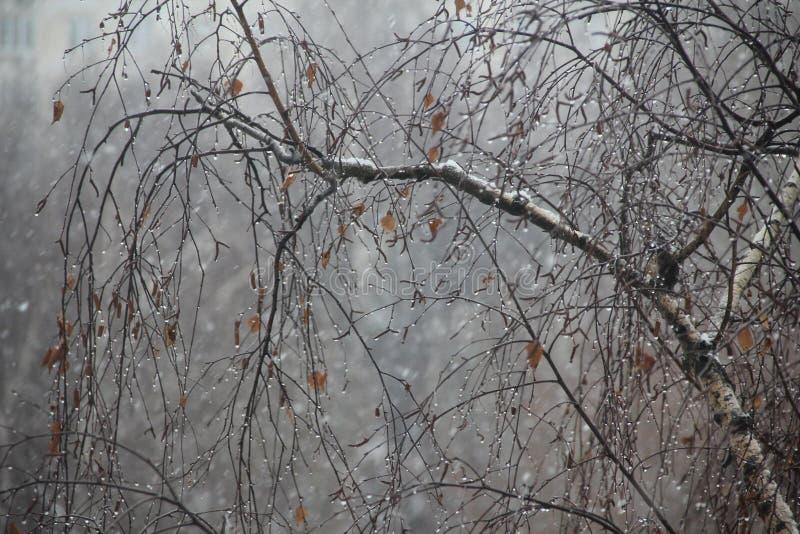 Dalingen op de berkboom stock afbeelding