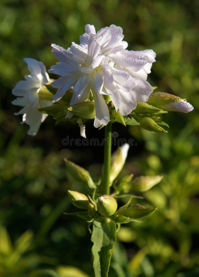 Dalingen van dauw op bloemen royalty-vrije stock foto's