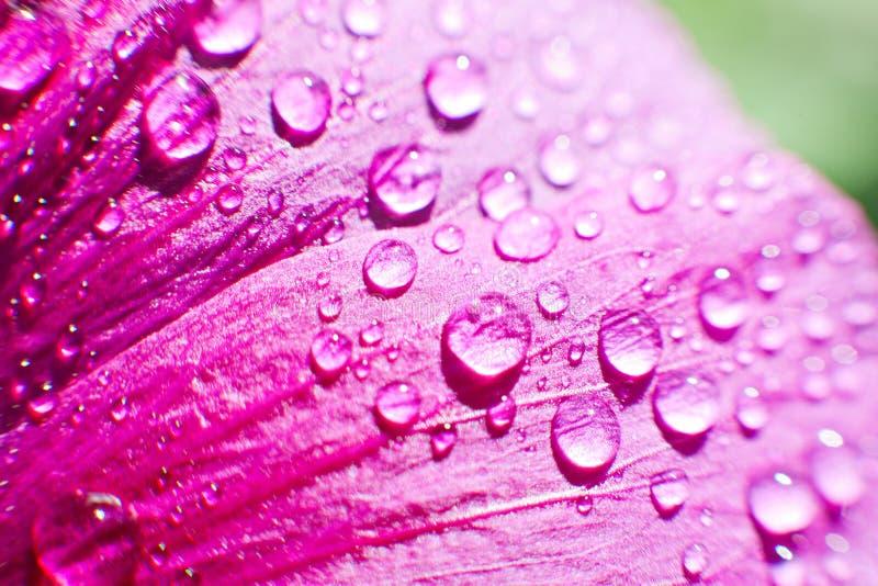 Dalingen van dauwwater op een bloembloemblaadje stock afbeeldingen