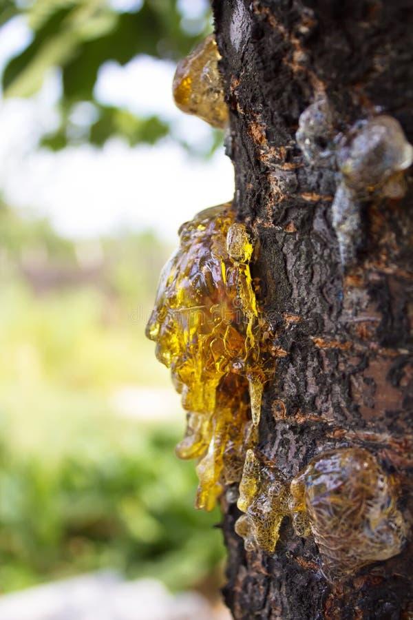 Dalingen van hars op een boomboomstam royalty-vrije stock foto
