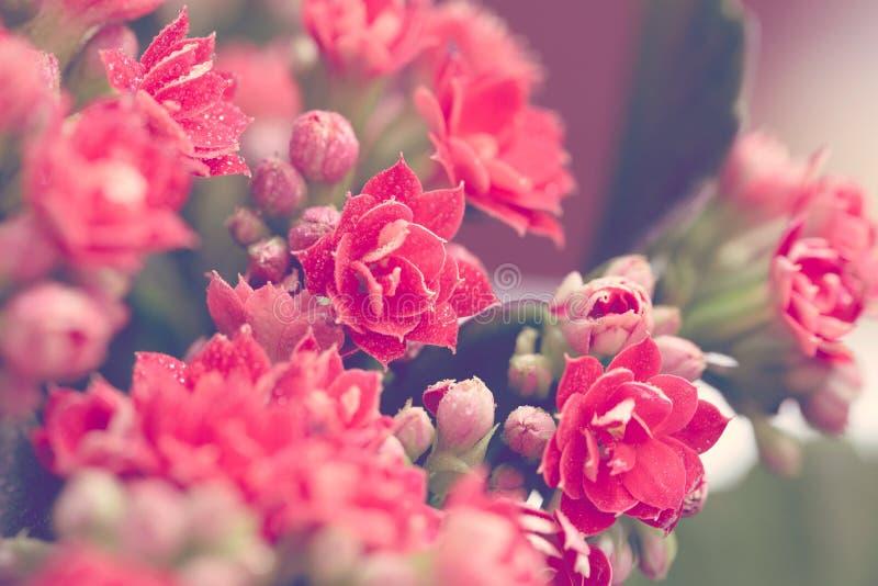 Dalingen van water op rode bloemen en knoppen van Kalanchoe Macro De stemming van de lente toning stock afbeeldingen