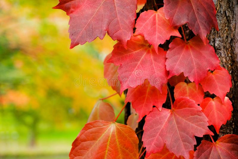 Dalingsbladeren in Autumn Season, Close-up van Rood Blad in Park stock foto