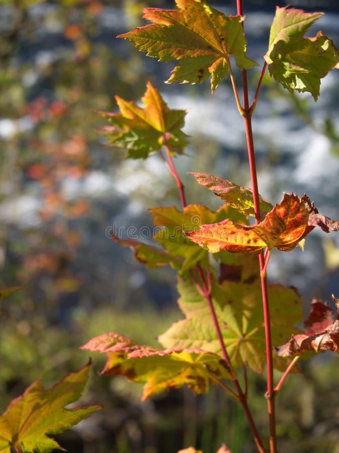 Dalingsbladeren op een esdoornwijnstok stock foto's