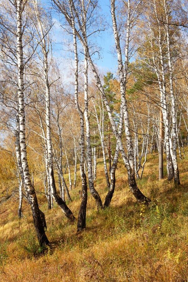Dalingslandschap: Berkbos met Gouden Gebladerte op Flank van Heuvel in Sunny Day royalty-vrije stock fotografie
