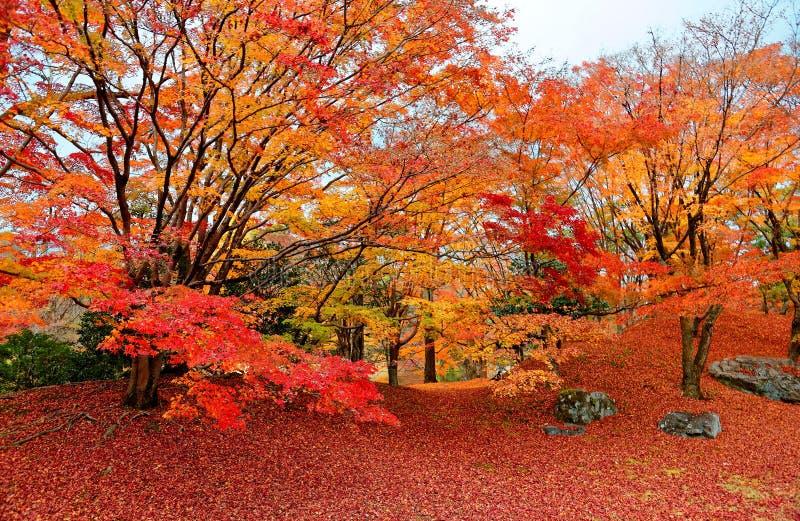 Dalingslandschap van vurige esdoornbomen in een Japanse tuin in Keizer het Paleis Koninklijk Park van Sento in Kyoto stock fotografie
