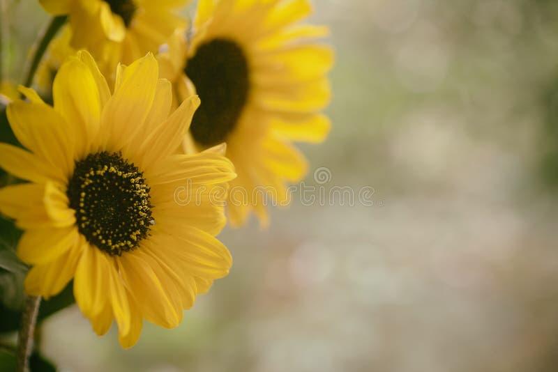Dalingszonnebloemen aan kant met onduidelijk beeld natuurlijke buitentonen in achtergrond met ruimte of ruimte voor exemplaar, te stock afbeeldingen