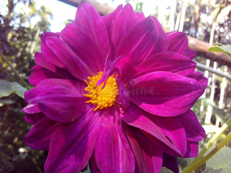 Daliya folower zdjęcie royalty free