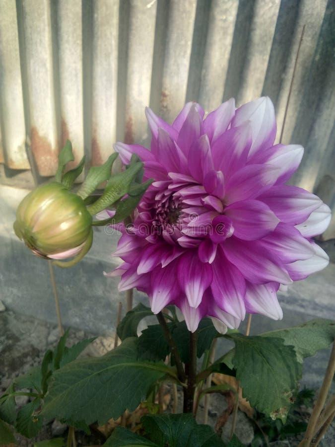 Daliya kwiat fotografia royalty free
